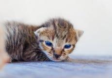 Encontro pequeno do teste padrão do tigre do gatinho Fotografia de Stock