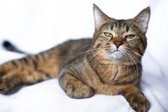 Encontro preguiçoso do gato de gato malhado foto de stock