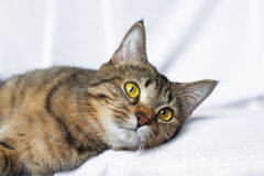 Encontro preguiçoso do gato de gato malhado fotos de stock