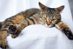 Encontro preguiçoso do gato de gato malhado imagem de stock