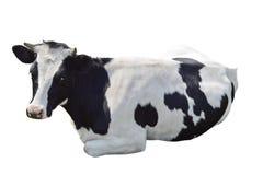 Encontro preto e branco da vaca isolado Fotografia de Stock Royalty Free