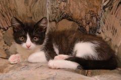 Encontro preto e branco do gatinho Imagens de Stock Royalty Free