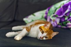 Encontro relaxado do gato vermelho branco no sofá Imagem de Stock