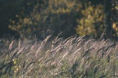 encorvaduras de la hierba del otoño contra el fondo oscuro - mirada de la película del vintage Foto de archivo