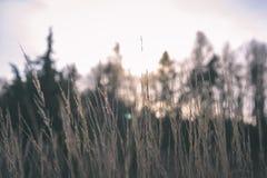 encorvaduras de la hierba del otoño contra el fondo oscuro - mirada de la película del vintage Imagenes de archivo