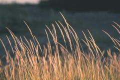 encorvaduras de la hierba del otoño contra el fondo oscuro - mirada de la película del vintage Fotografía de archivo libre de regalías