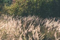 encorvaduras de la hierba del otoño contra el fondo oscuro - mirada de la película del vintage Fotografía de archivo