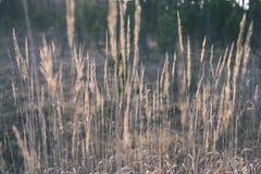 encorvaduras de la hierba del otoño contra el fondo oscuro - mirada de la película del vintage Imagen de archivo libre de regalías
