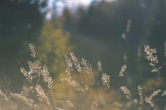 encorvaduras de la hierba del otoño contra fondo oscuro en la luz de la puesta del sol - vin Fotos de archivo
