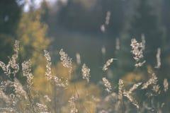 encorvaduras de la hierba del otoño contra fondo oscuro en la luz de la puesta del sol - vin Imagen de archivo