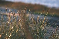 encorvaduras de la hierba del otoño contra fondo oscuro en la luz de la puesta del sol - vin Imagen de archivo libre de regalías