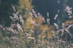 encorvaduras de la hierba del otoño contra fondo oscuro en la luz de la puesta del sol - vin Foto de archivo