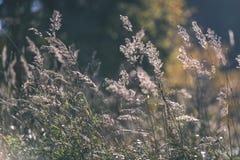 encorvaduras de la hierba del otoño contra fondo oscuro en la luz de la puesta del sol - vin Fotos de archivo libres de regalías