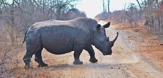 Encounter with a White Rhino Stock Photography