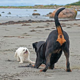 Two dogs rottweiler and a small Bichon frisé. Dog on both to play on a beach stock photos