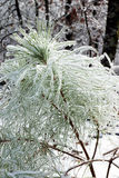 Encrusted needles loblolly pine (Pinus taeda)  after freezing ra Stock Photo