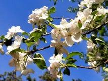 Encuentre la abeja, primavera Redmond Oregon 2018 imágenes de archivo libres de regalías