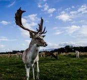 Encuentro cercano con un ciervo Imágenes de archivo libres de regalías