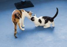 Encuentro de los gatos Imagenes de archivo
