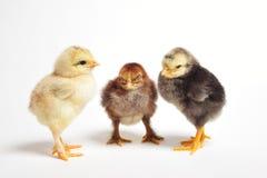 Encuentro de los pollos Foto de archivo libre de regalías