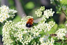 Encuentro de un abejorro y de una abeja sobre una flor blanca Fotografía de archivo libre de regalías