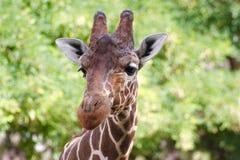 Encuentro durante safari: ojos a los ojos Fotos de archivo libres de regalías