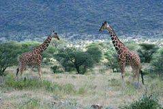 Encuentro en Samburu Imagen de archivo