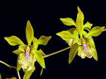 Encyclia ambigua Stock Photos