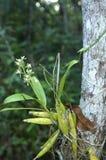 Encyclia da espécie da orquídea Foto de Stock