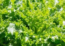 Endívia verde-clara Imagem de Stock