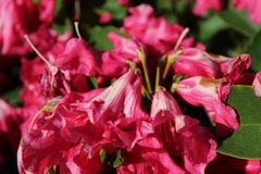 The end of blooming season for rhododendron flowers. In early summer Royalty Free Stock Image