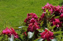 The end of blooming season for rhododendron flowers. In early summer Stock Photos