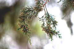 End of a cedar tree branch. A still shot of the end of a cedar tree branch in a forest in the fall at midday royalty free stock photography