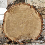 End cut of a big tree Stock Images