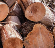End Of Cut Pine Logs In A Stacked Pile with Saw marks Royalty Free Stock Photography