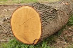 End cut of a tree. End cut of a big aspen tree in the forest surroundings Royalty Free Stock Photo