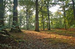 End of day light in woodland. Sunrays across the forest, with first colors of autumn, and leaves covering the ground Royalty Free Stock Photo