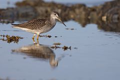 End of day reflexion. A greater yellowlegs and it`s reflexion at the end of the day while calmly crossing water royalty free stock photo