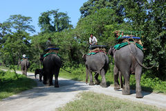 End of the day`s safari. The elephants are going back to their stable. Royalty Free Stock Image