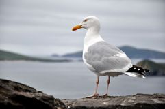 End of Europe - Seagull abot to take Flight Stock Photography