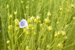 End of flowering of a standing flax bouquet in a field. stock photography