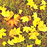 End of football season. Dry maple leaves fallen on ground of natural green football turf with painted white line . Royalty Free Stock Photography