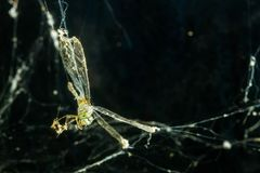 Dragonfly in spider web. End of the freedom, dragonfly caught in spider web Stock Image