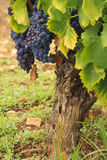 End of the grape season Royalty Free Stock Photos
