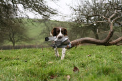 End of a hard day's work. Springer spaniel retrieving a pigeon Stock Photography