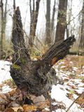 Fallen Log Resembling an Animal Royalty Free Stock Photo