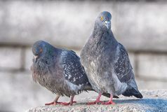 Love games in pigeons. At the end of March the pigeons find their mates and stay together for a long time stock images