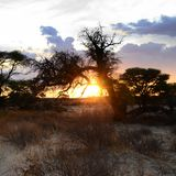 The sun goes down behind a camel thorn tree near Nossob, Kgalagadi Transfrontier National Park , South Africa Stock Photo