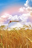 At The end of The Rainbow. Sun ripened Golden Wheat with Ladybird Royalty Free Stock Image