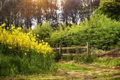 The end of rape field. In the end of rape field in the sunny day Stock Image